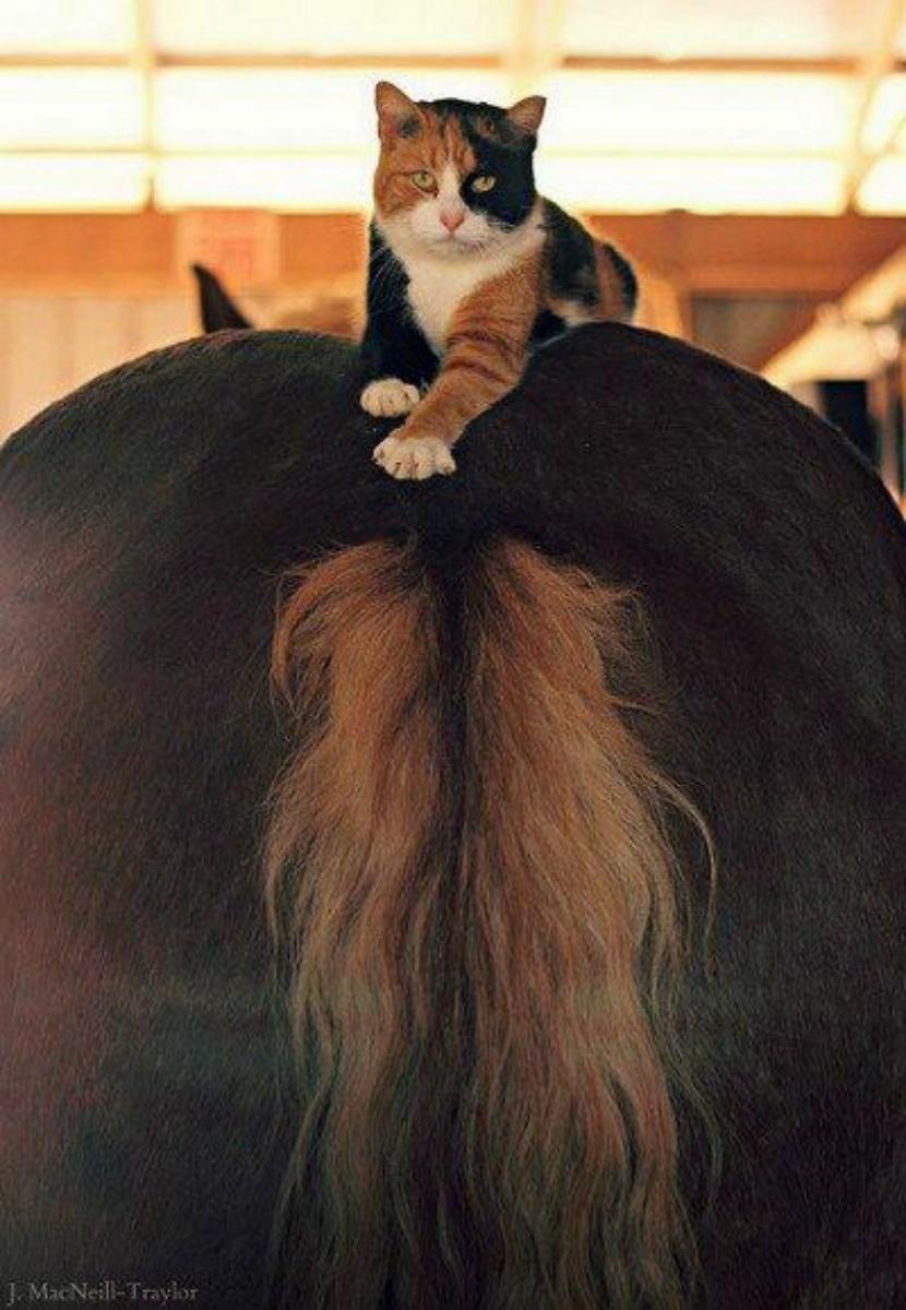 Catonhorse