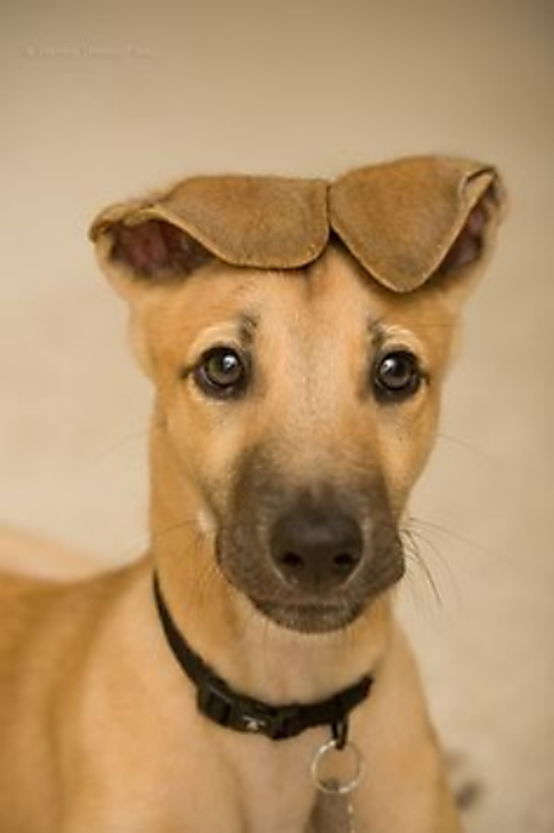 GreyhoundEars