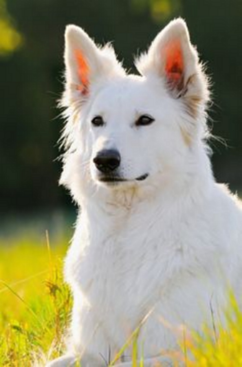 WhiteShepherd