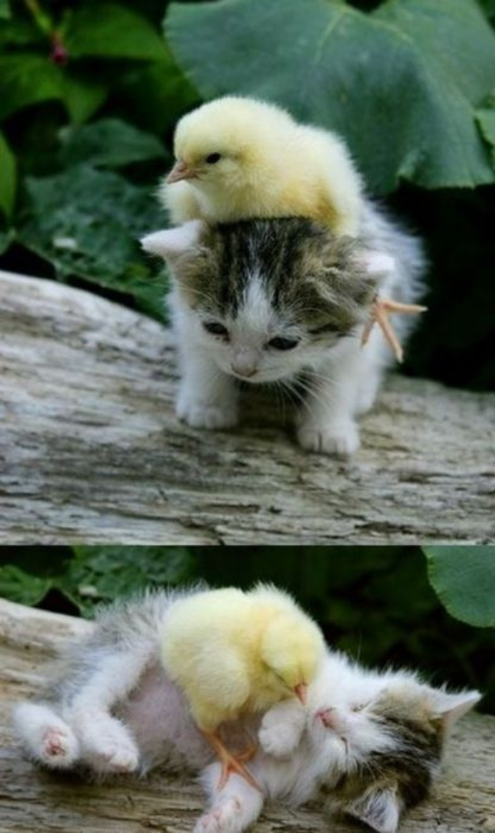 CatChick