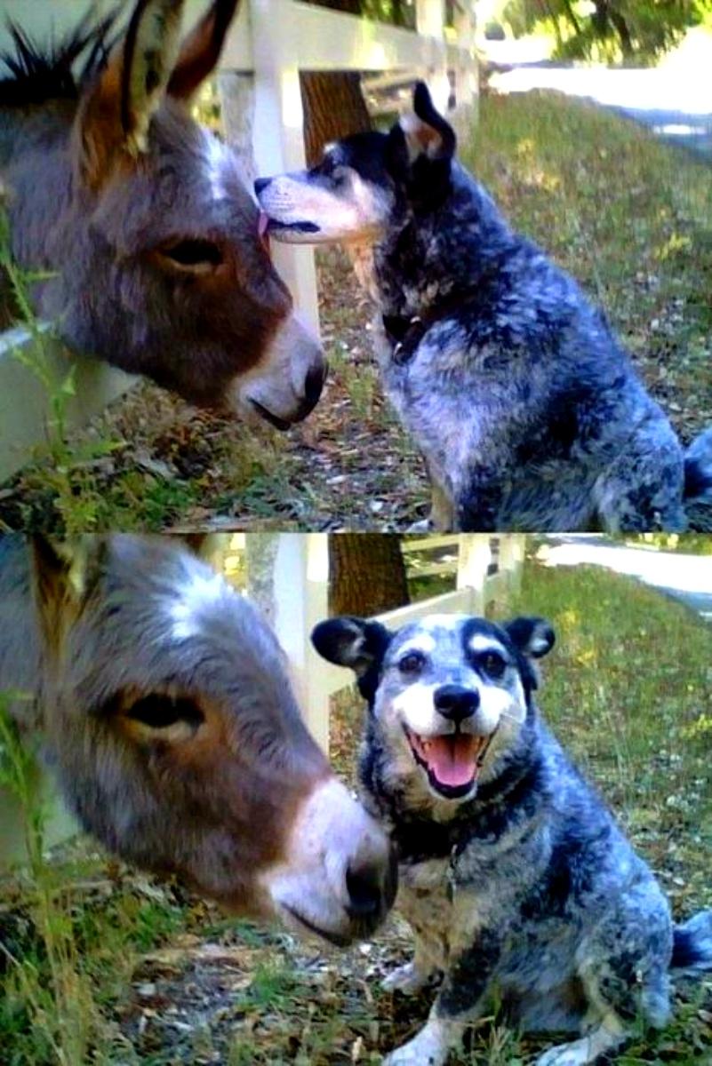 cattledogdonkey