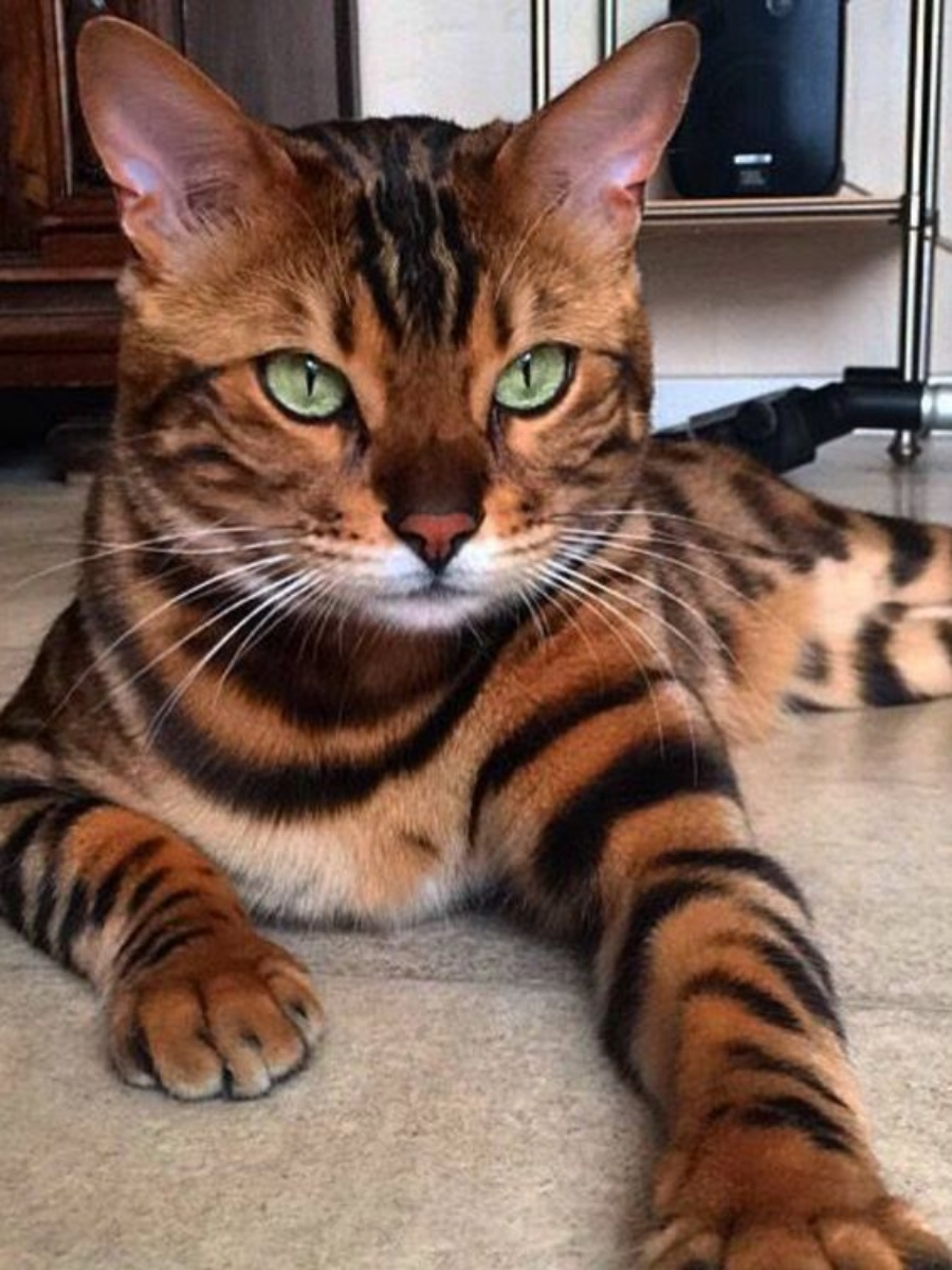 Bengal Tiger House Cat For Sale