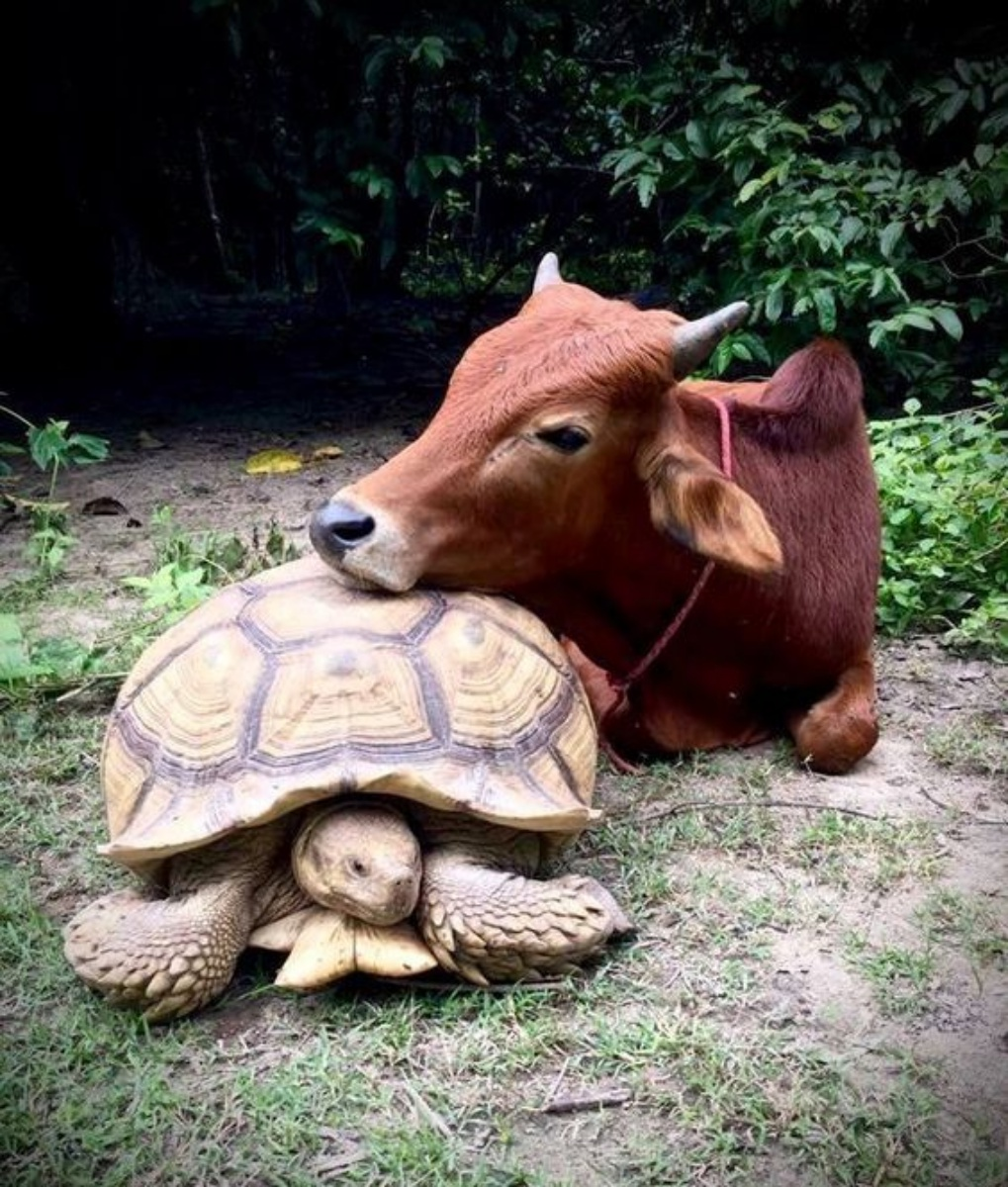Turtle and Cow